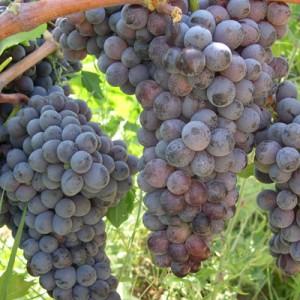 3 Italian Grapes